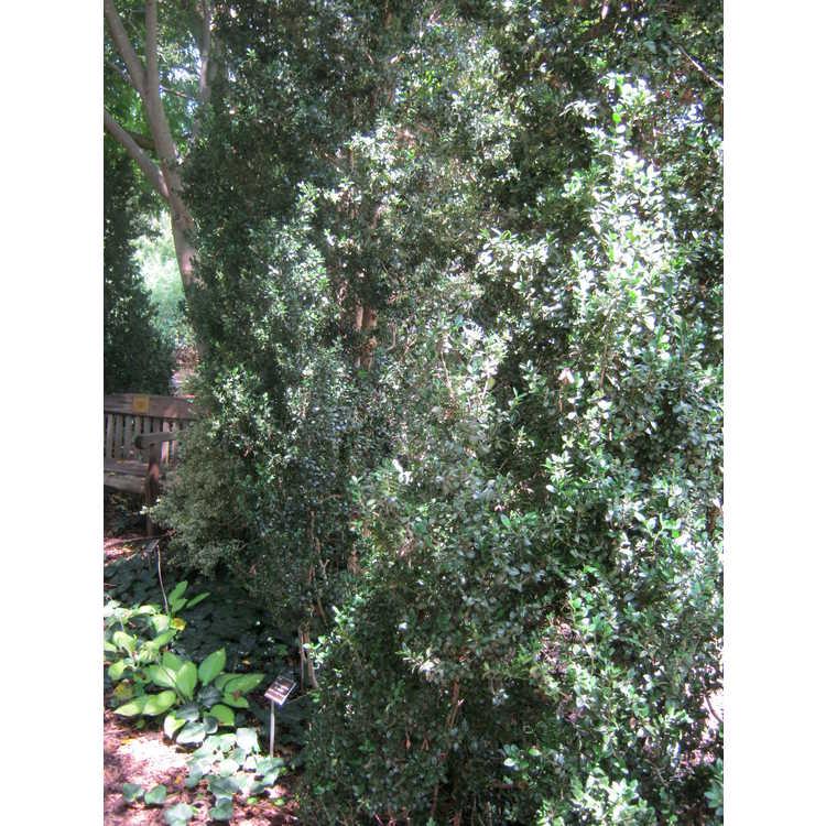 Buxus sempervirens 'Pyramidalis' - upright common boxwood