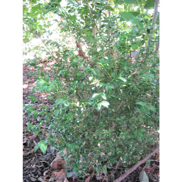 Buxus sempervirens 'Handsworthii' - common boxwood