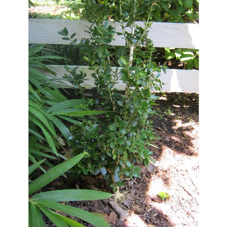 Buxus sempervirens 'Highlander'