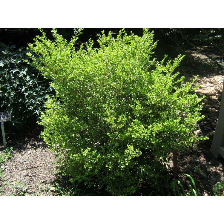 Buxus microphylla 'Peergold'