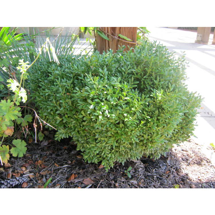 Buxus microphylla 'Franklin's Gem'