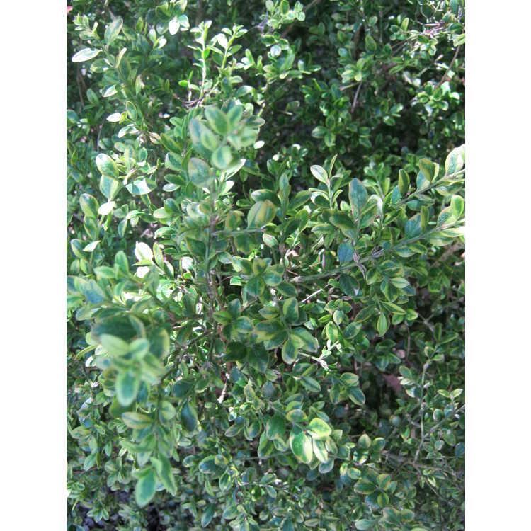 Buxus sinica var. insularis 'Sunburst' - variegated Korean boxwood