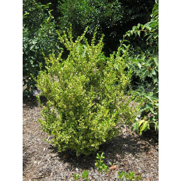 Buxus sempervirens 'Borderline' - variegated common boxwood