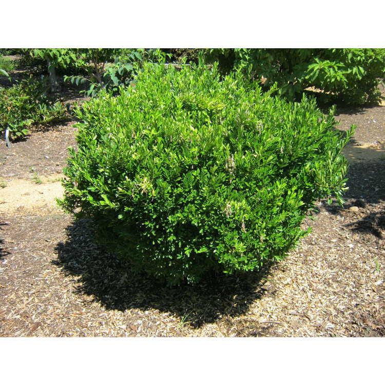 Buxus harlandii 'Goliath'
