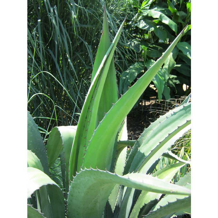 Agave lophantha × A. salmiana var. ferox 'Logan Calhoun'