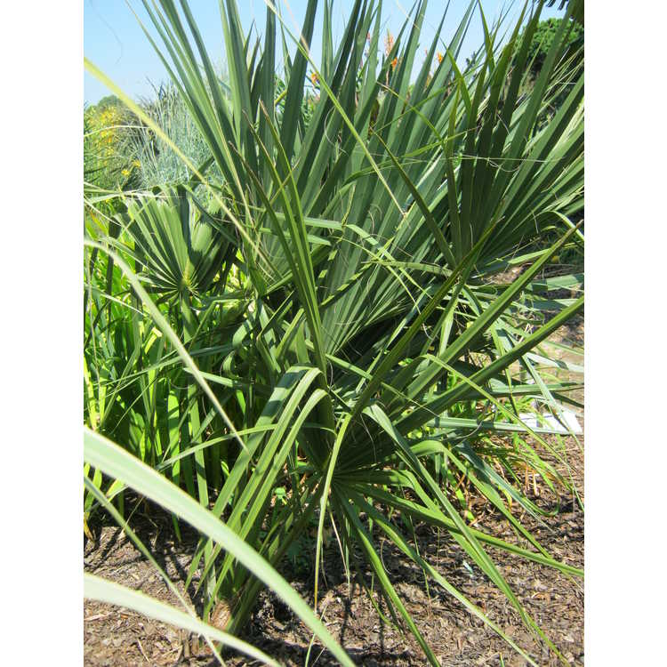 Sabal palmetto (Kinston form)