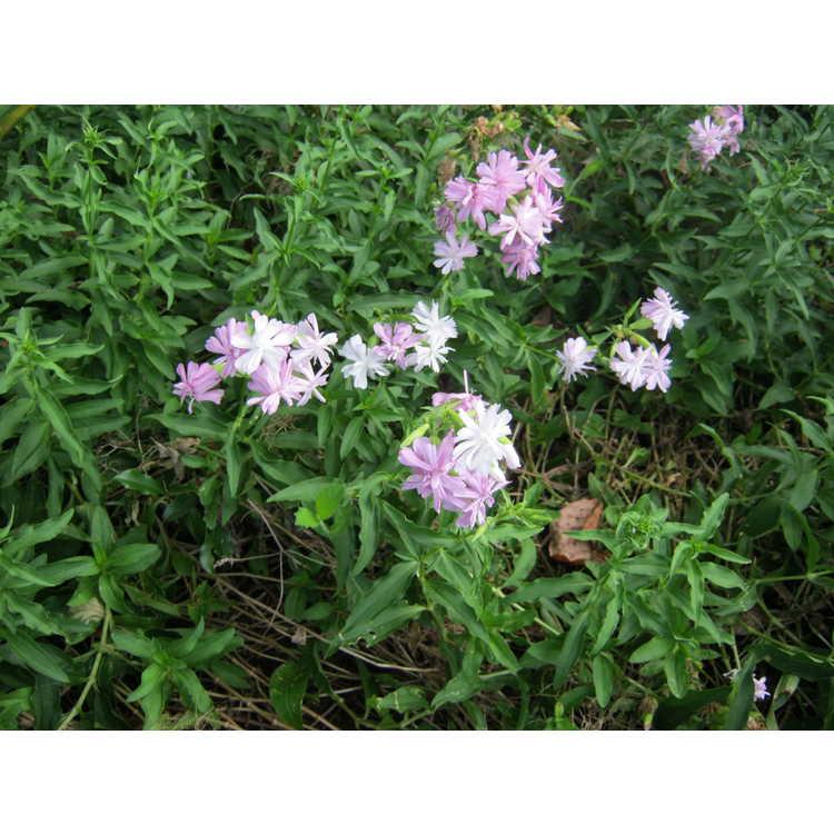 Saponaria officinalis 'Rosea Plena'
