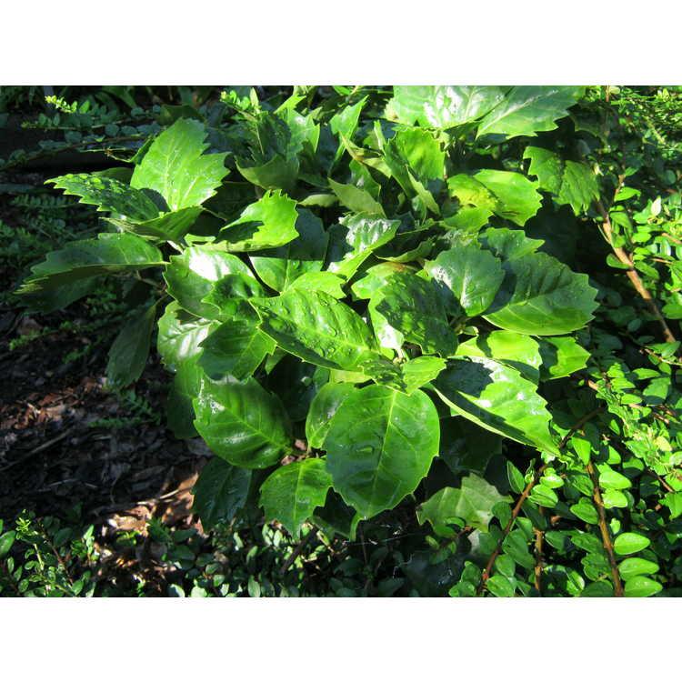 Aucuba japonica 'Kameba'