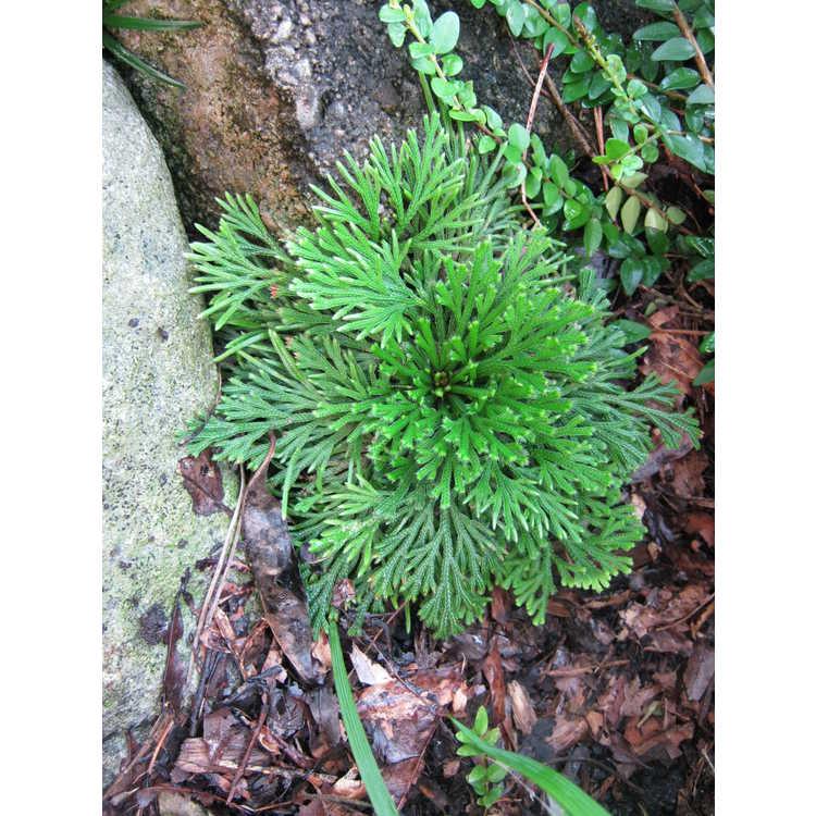 Selaginella tamariscina (red form)