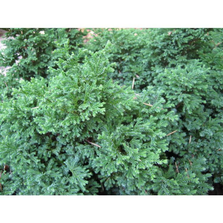 Chamaecyparis pisifera 'Juniperoides'