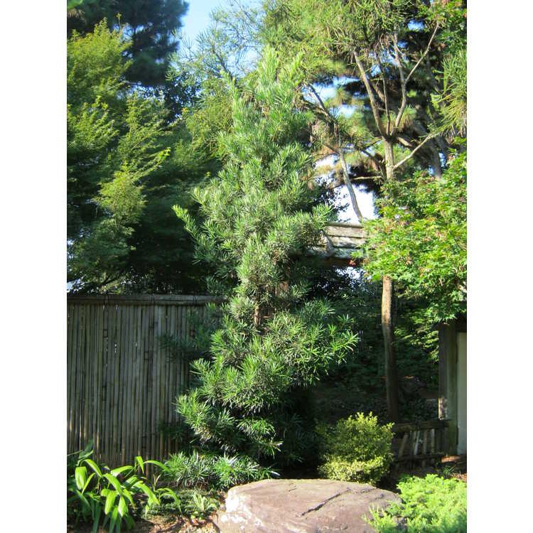 Podocarpus macrophyllus var. maki (ex. 'Edgefield')