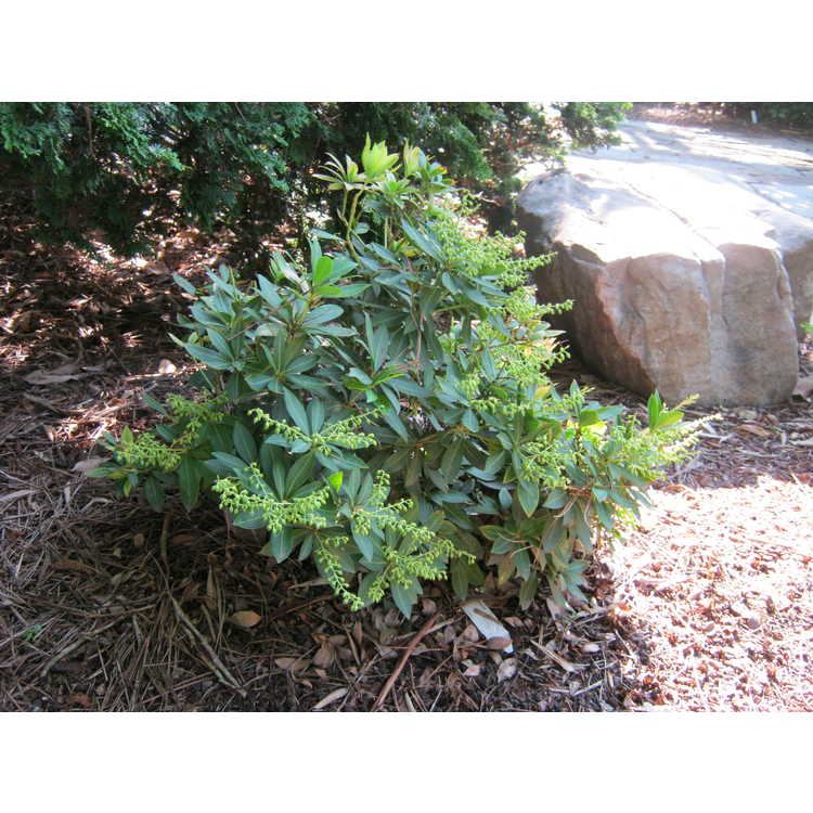 Pieris japonica 'Sarabande'
