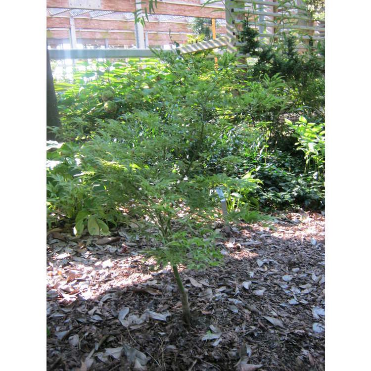 Acer palmatum 'Manyo-no-sato'