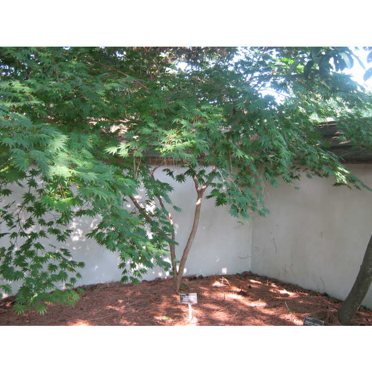 Acer shirasawanum 'Palmatifolium' - Shirasawa maple