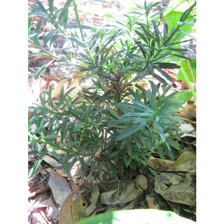 Podocarpus macrophyllus (upright Alabama form)