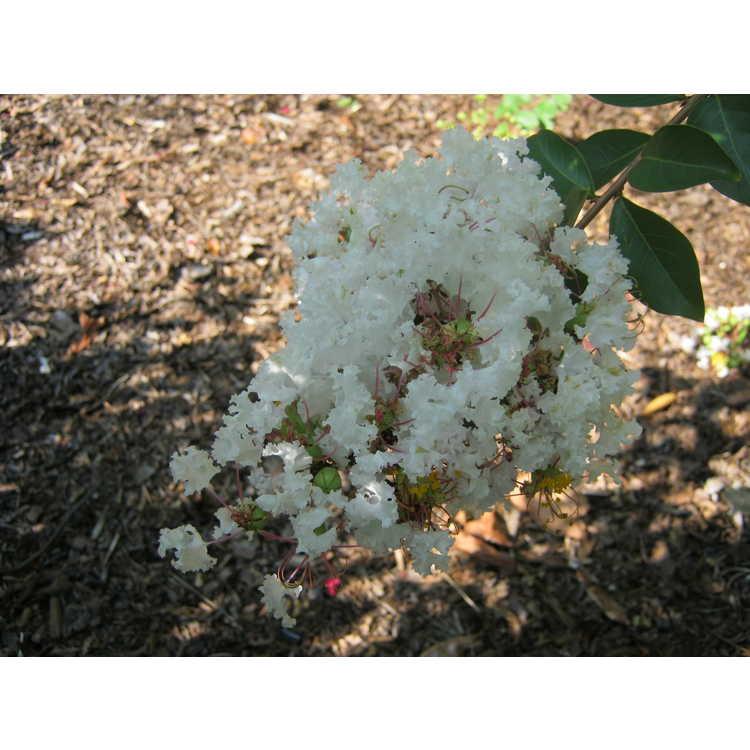 Lagerstroemia 'White Cascade'