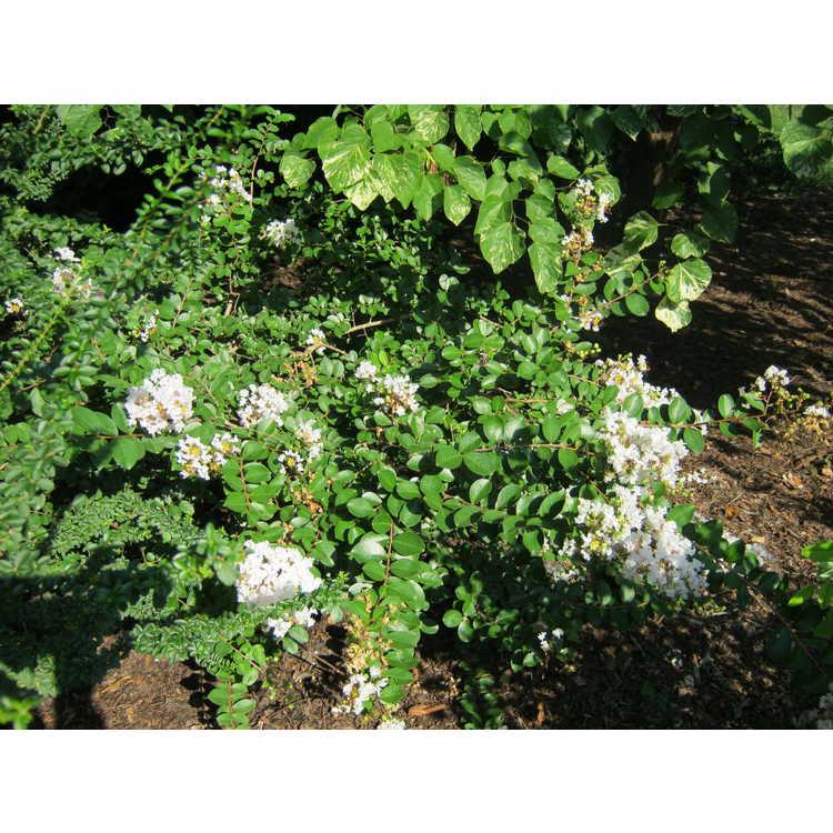 Lagerstroemia 'White Cascade' - hybrid crepe myrtle