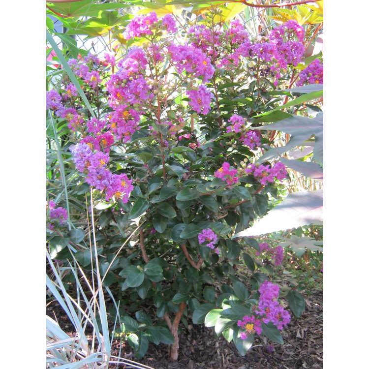 Lagerstroemia 'Purple Magic' - purple crepe myrtle