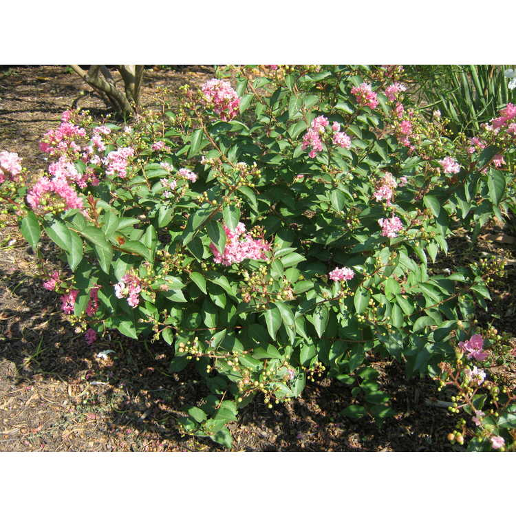 Lagerstroemia (CP 09 DS 402)
