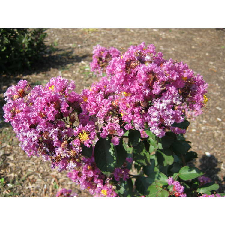 Lagerstroemia (Cp12ds485)