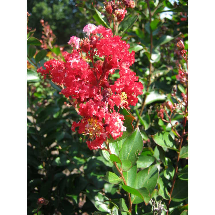 Lagerstroemia 'Piilag-III' - Red Rooster, Enduring Summer Fuchsia hybrid crepe myrtle