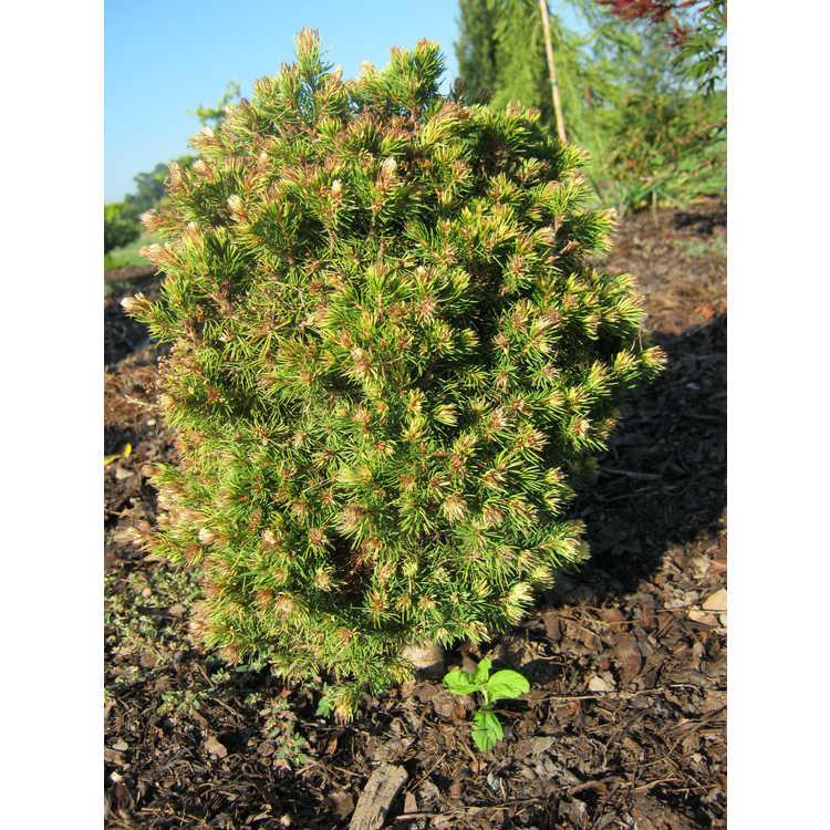 Picea glauca 'Gold Tip'