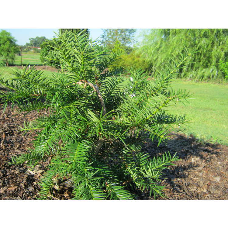 Torreya californica 'Spreadeagle'