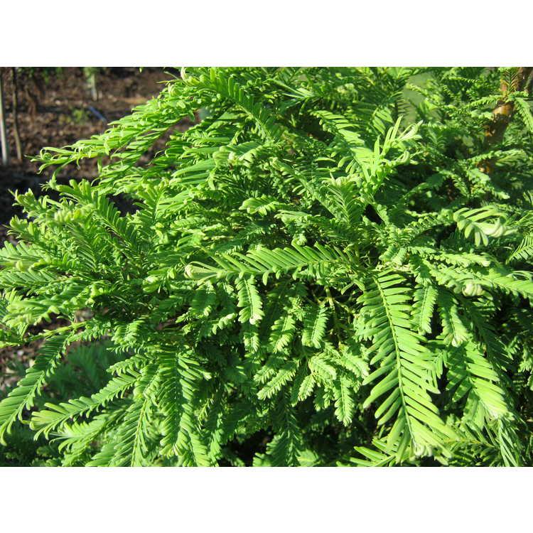 Metasequoia glyptostroboides 'Hamlet's Broom' - dwarf dawn redwood