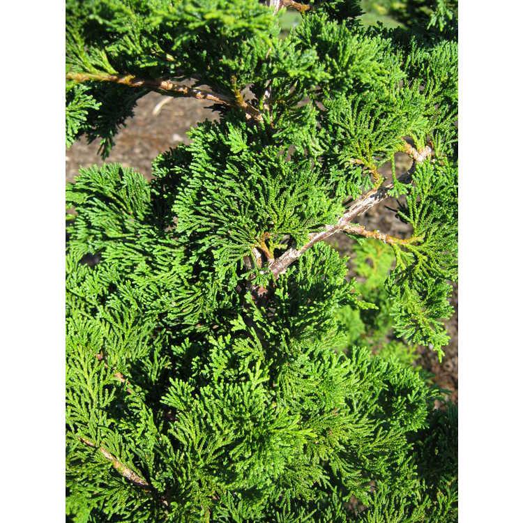 Chamaecyparis obtusa 'Oregon Crested' - dwarf Hinoki falsecypress