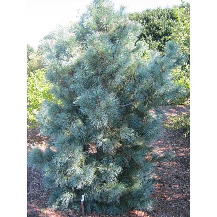 Pinus 'Domingo'