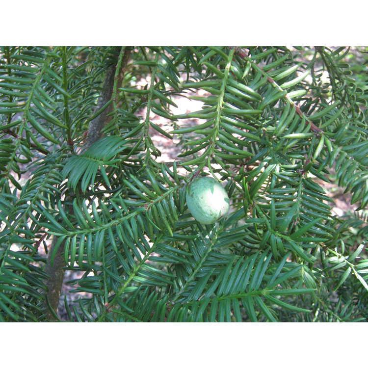 Torreya fargesii - Farges nutmeg tree