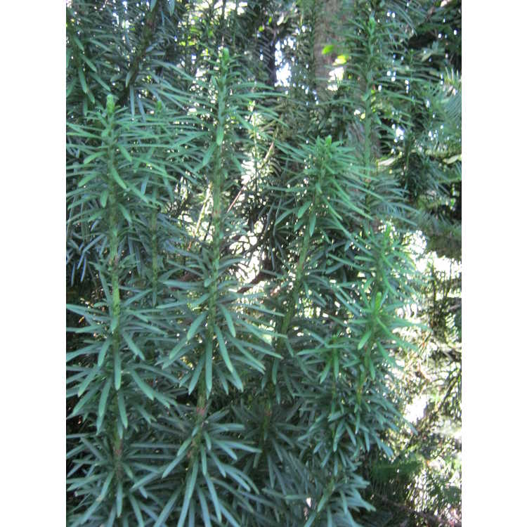Cephalotaxus harringtonia var. koreana 'Korean Gold'