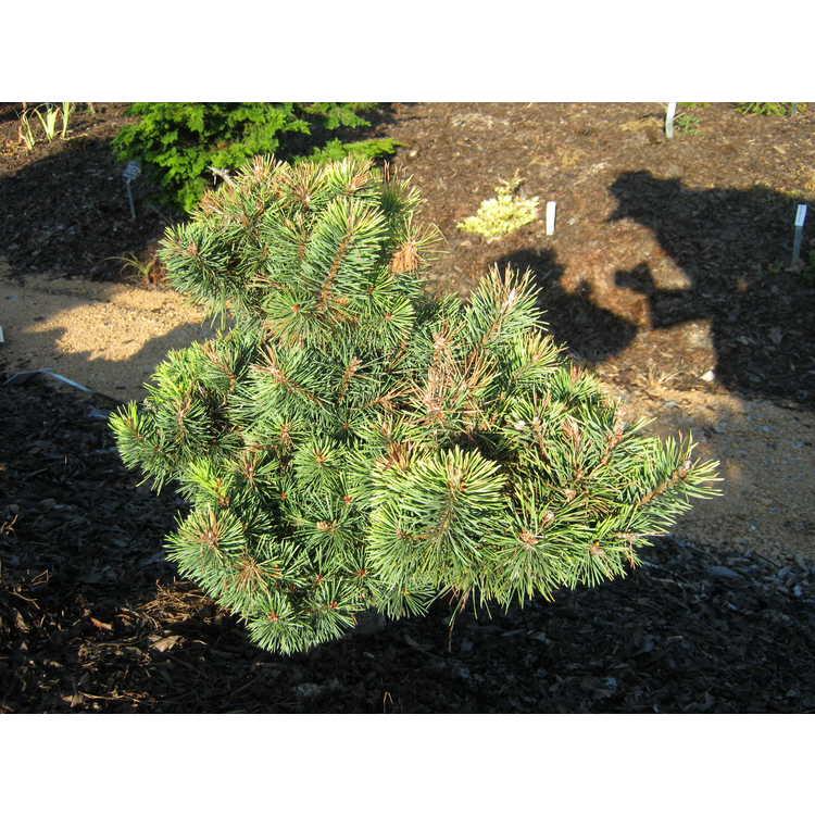 Pinus sylvestris 'KBN Gold' - Scots pine