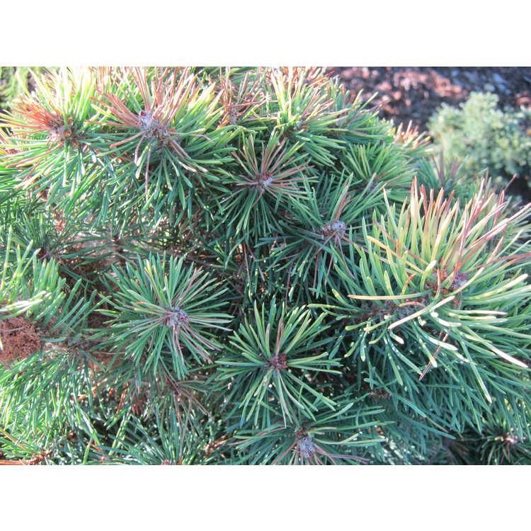 Pinus sylvestris 'KBN Gold'