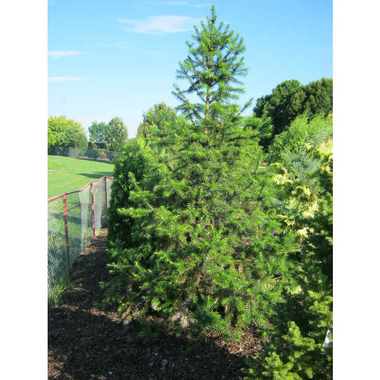 Cunninghamia lanceolata 'Compacta' - dwarf China-fir