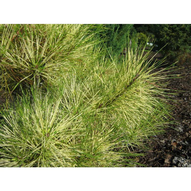 Pinus densiflora 'Red O.D. Burke'