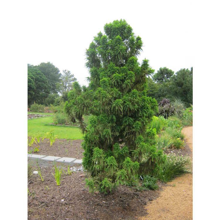 Taxodium distichum 'Jim's Little Guy'