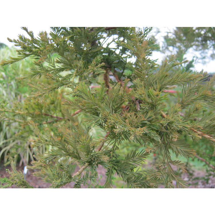 Taxodium distichum 'Crazy Horse'