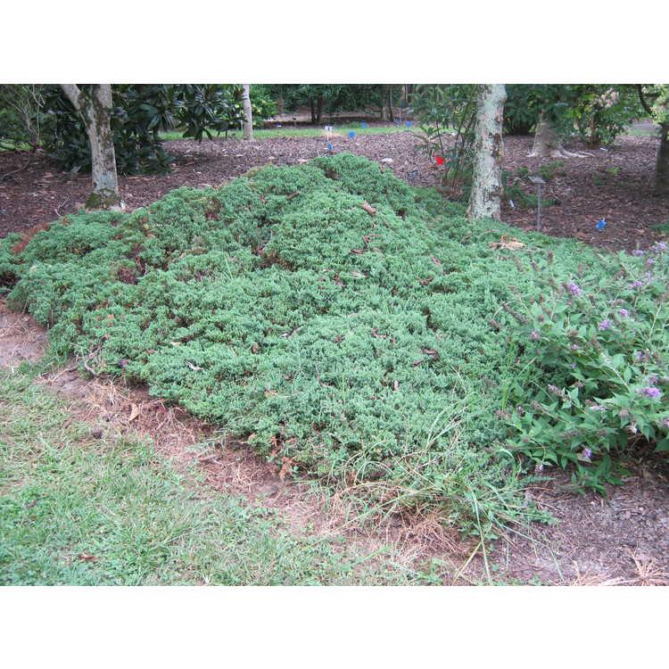 Juniperus procumbens [Nana Group] 'California'