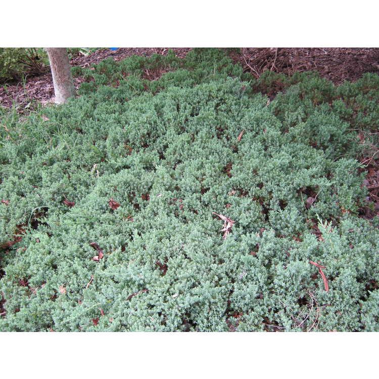 Juniperus procumbens 'Greenmound Nana'
