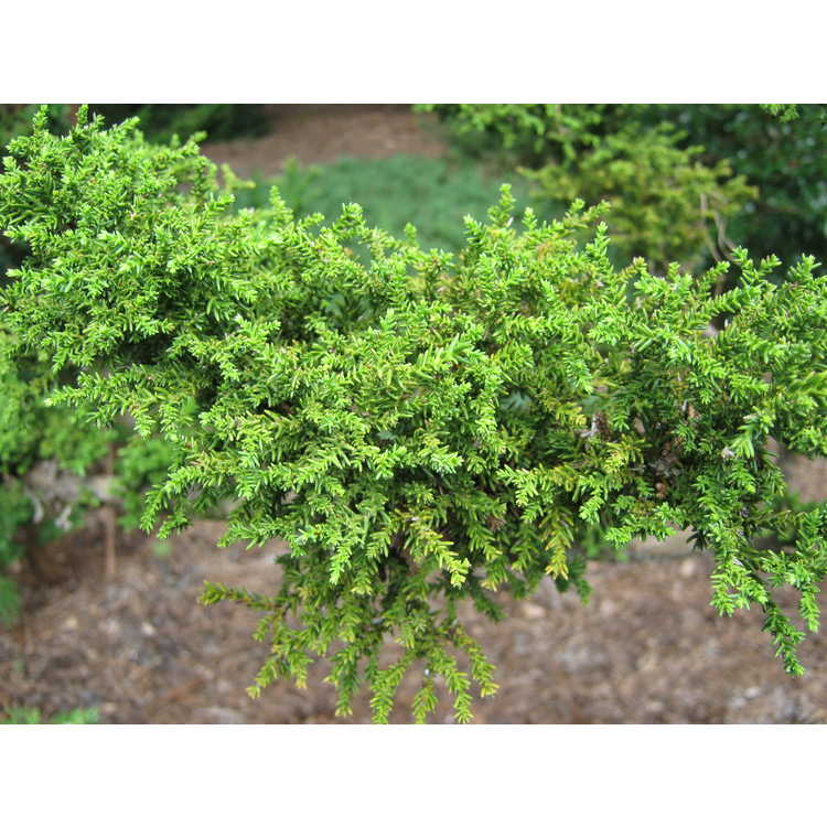 Cryptomeria japonica var. sinensis 'Green Grizzly' - Chinese-cedar