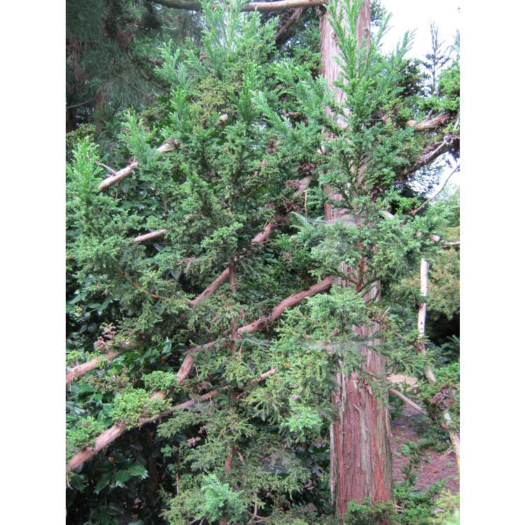 Cryptomeria japonica var. sinensis 'Green Grizzly'