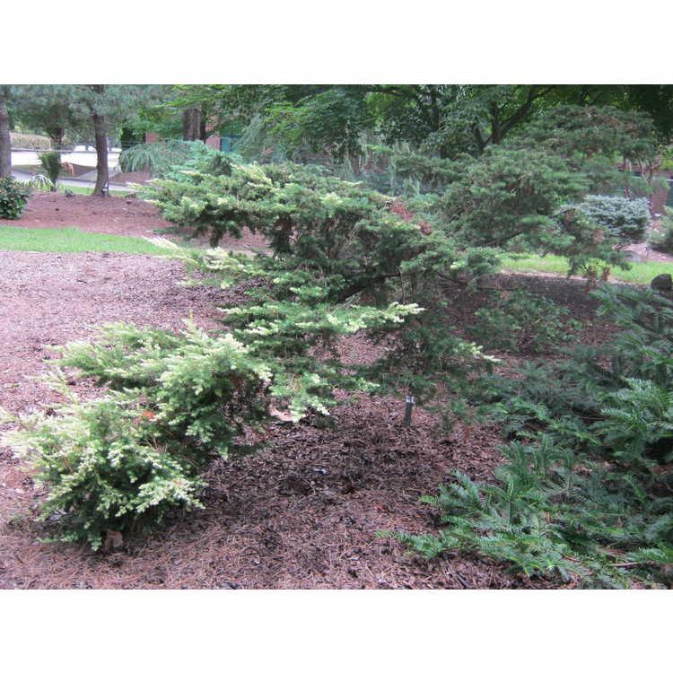 Juniperus rigida 'Hikari'