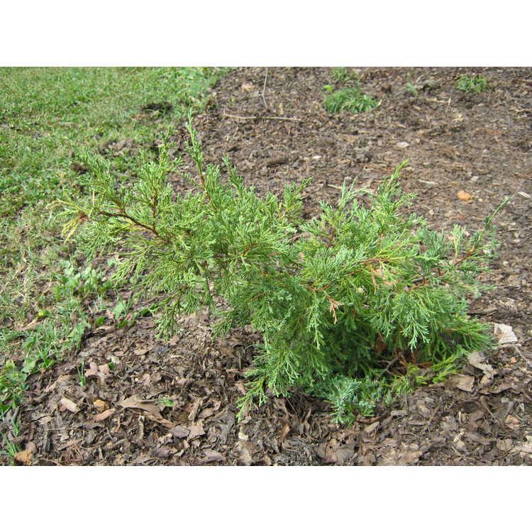 Juniperus virginiana (fastigiate blue)