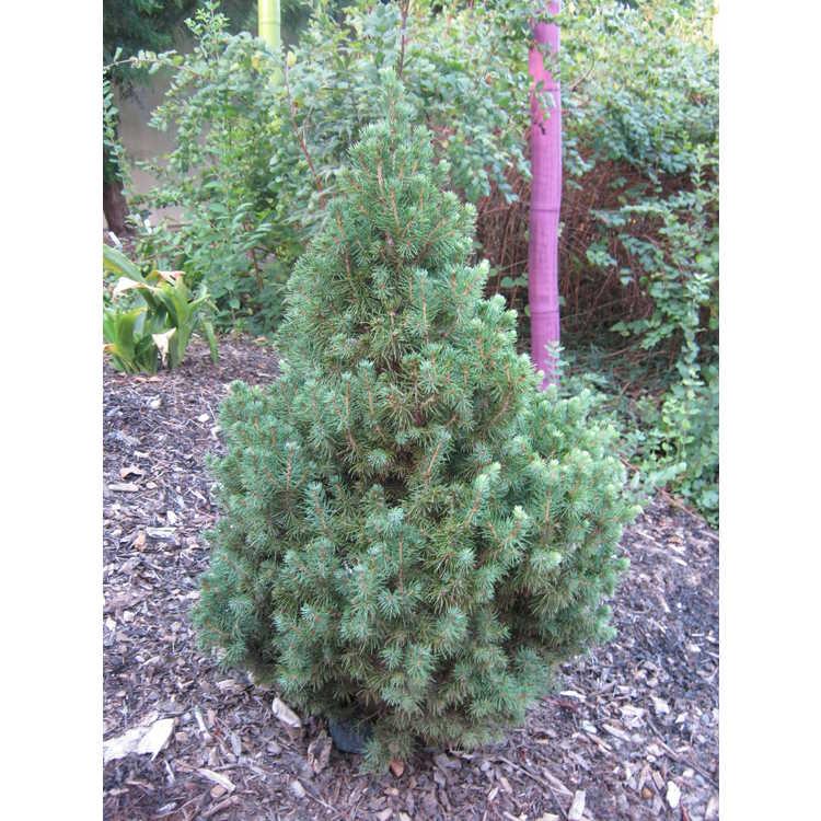 Picea glauca 'J.W. Daisy's White'