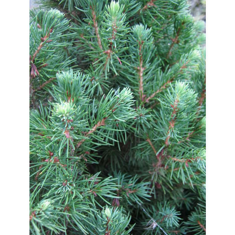 Picea glauca 'J.W. Daisy's White' - white-tipped dwarf white spruce