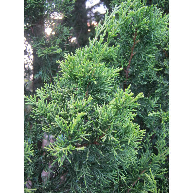 Juniperus chinensis 'Mac's Golden'