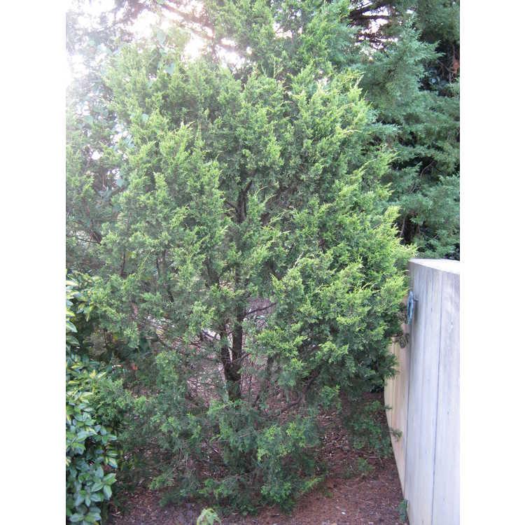 Juniperus chinensis 'Mac's Golden' - golden Chinese Juniper