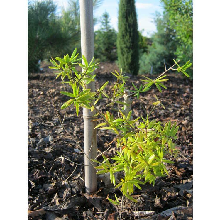 Keteleeria davidiana var. formosana