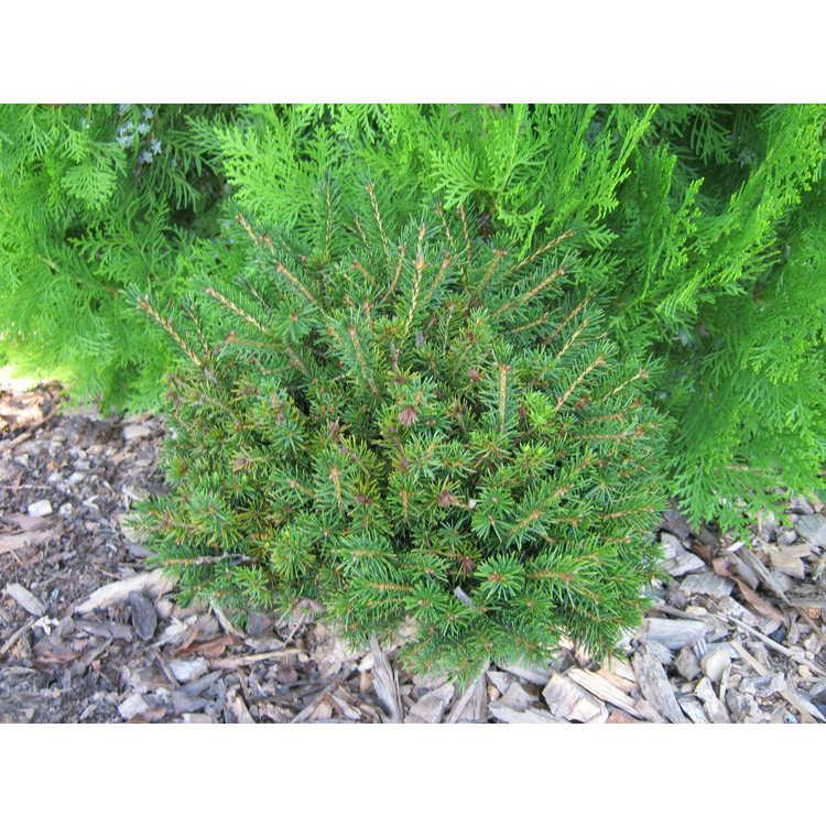 Picea orientalis 'Nigra Compacta'